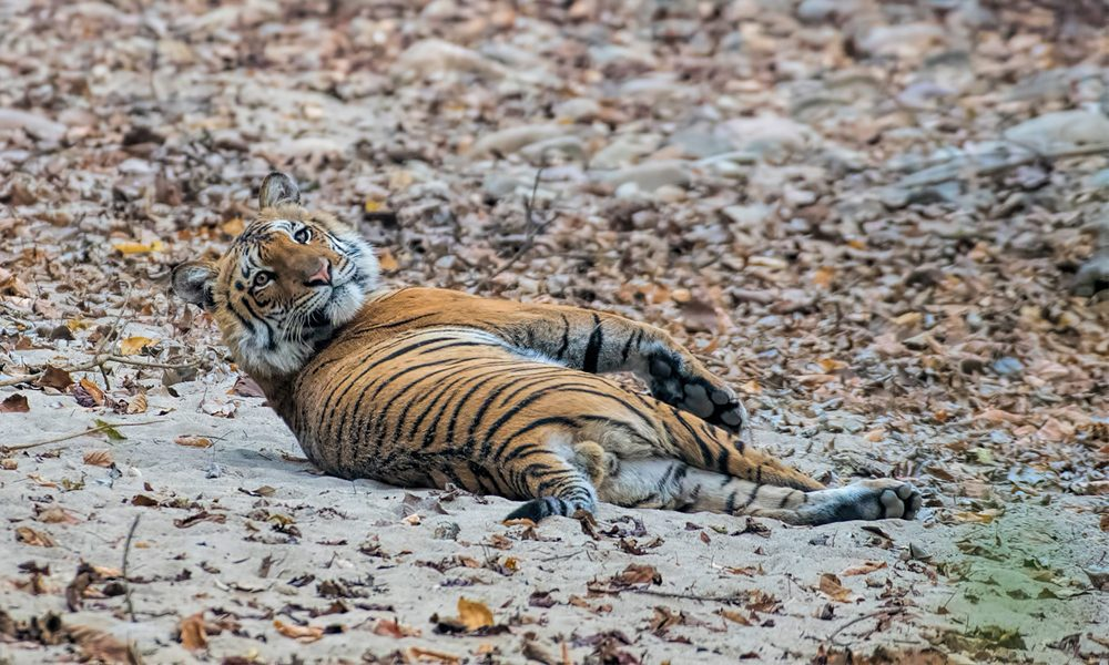 tiger lying on the ground