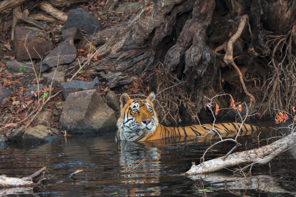 Tiger cooling off in a rock pool