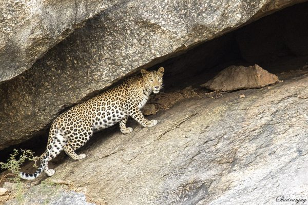 leopard on the rocks at Bera