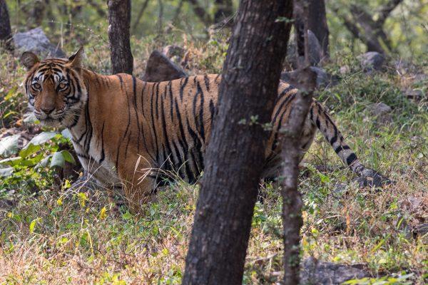Noor, a Ranthambhore tigress